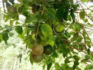 Agria Oranges