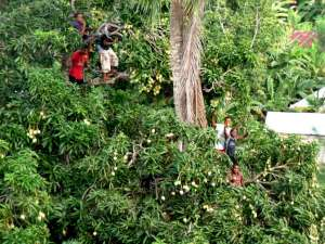Five Thugs In my Mango Tree