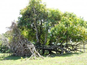 Even this mango tree will be producing over 3000 mangos and it was blown over!!!