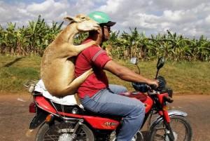 Delivering Dinner. A Goat to Go.
