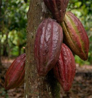 Cocao Growing Region