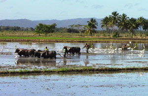 Rice Planting In The Dominican Republic